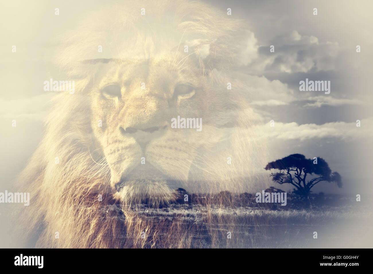 Double exposure of lion and Mount Kilimanjaro savanna landscape. - Stock Image