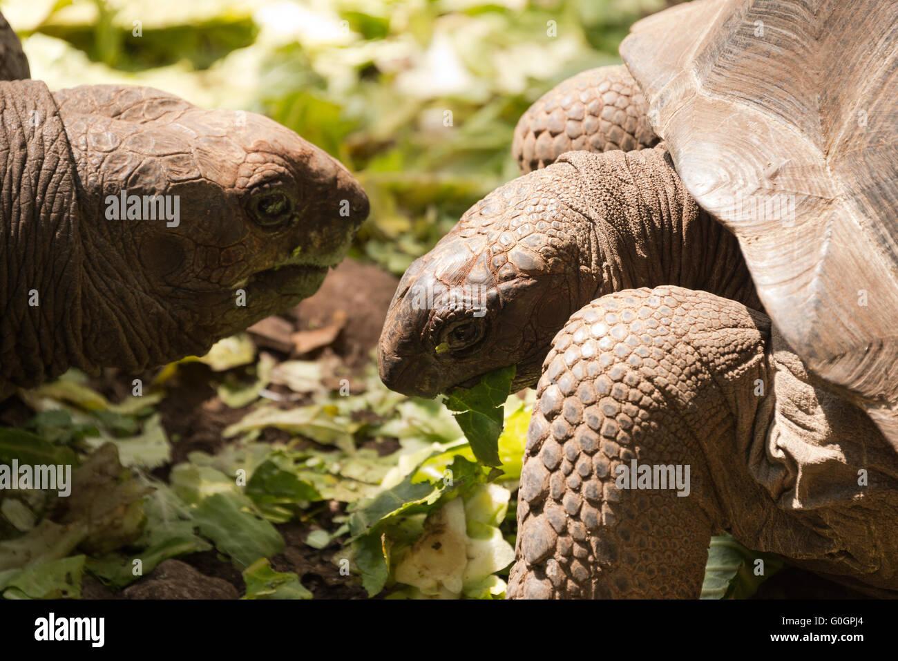 Aldabra giant tortoise - Stock Image