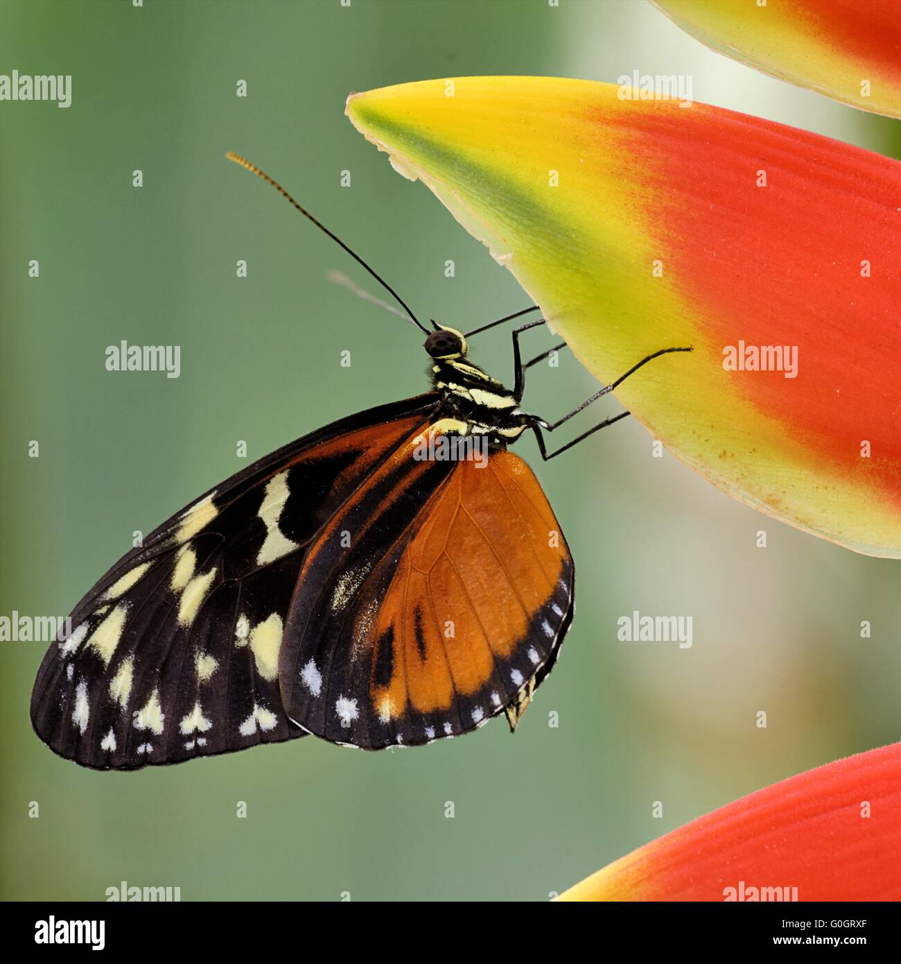 Tiger-Longwing on a Hanging Lobster Claw - Stock Image