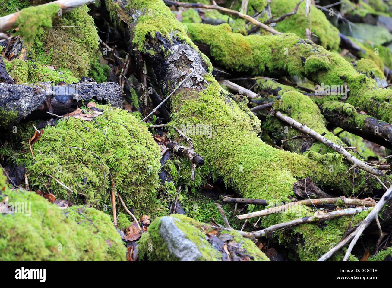 Moss on deadwood on the forest soil Stock Photo