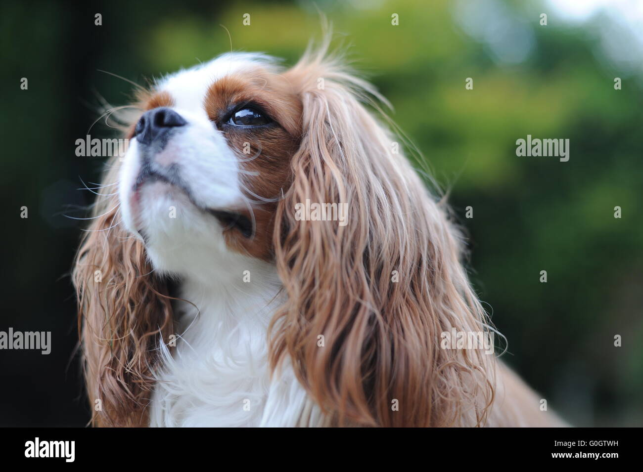 A King Charles Cavalier Dog on a warm sunny summer's day