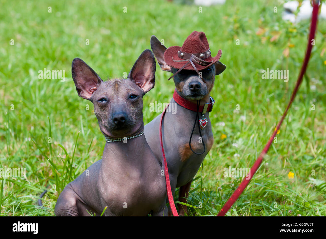 Mexican hairless dog - Stock Image
