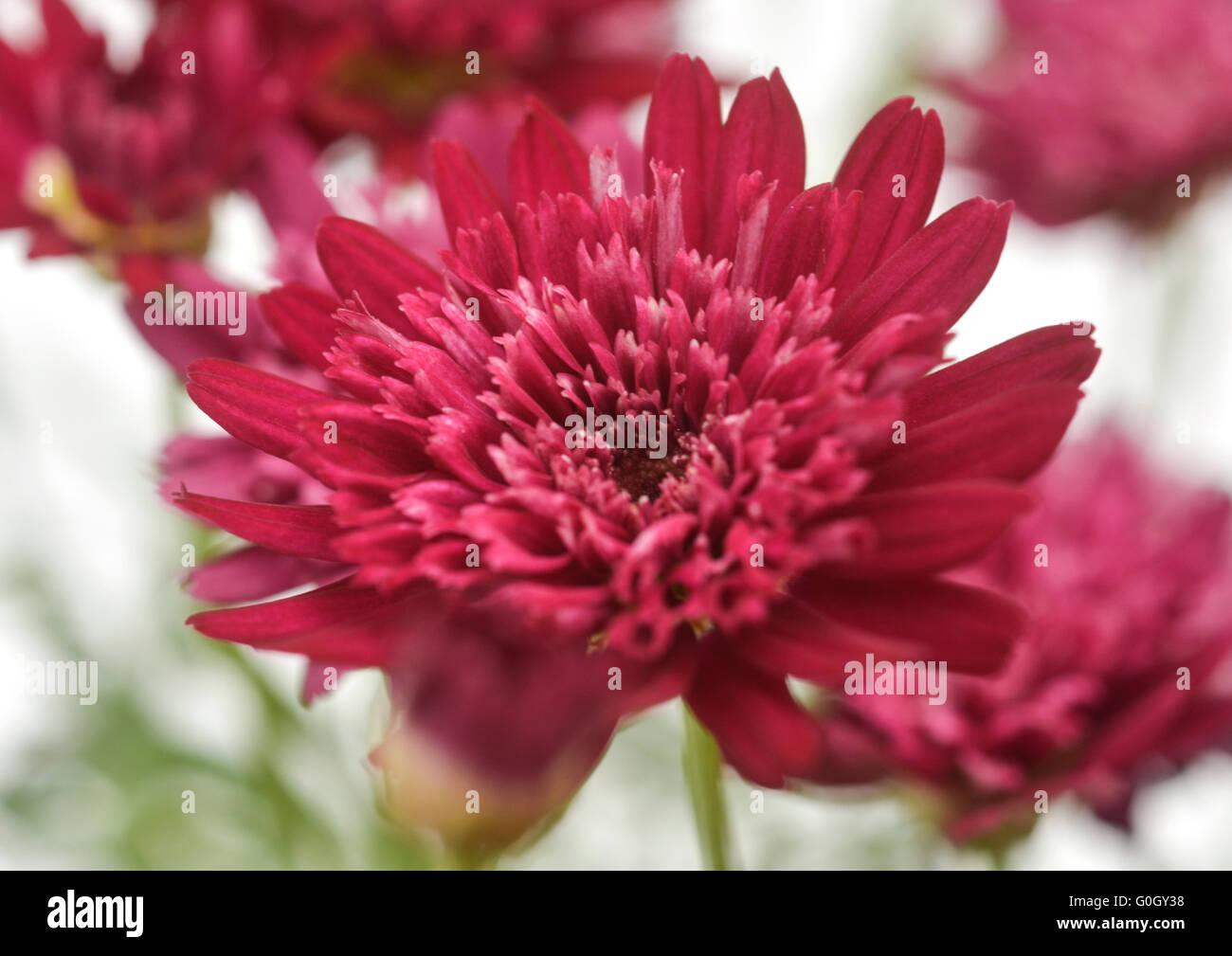 Argyranthemum-Magenta-1 - Stock Image