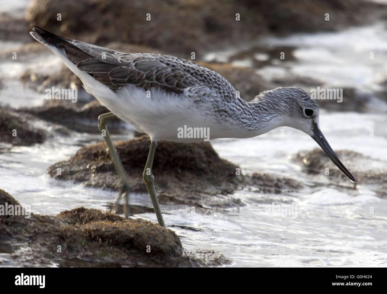 Common greenshank Stock Photo