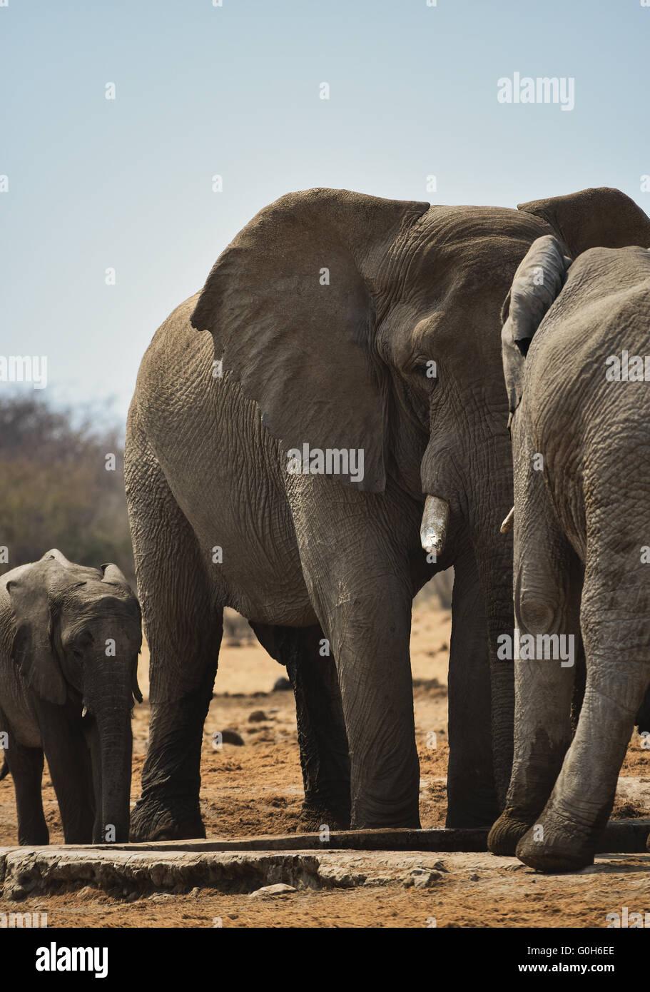 Herd of elephants - Stock Image