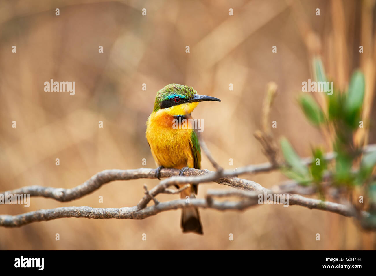 little bee-eater (Merops pusillus), Lake Manyara National Park, Tanzania, Africa - Stock Image