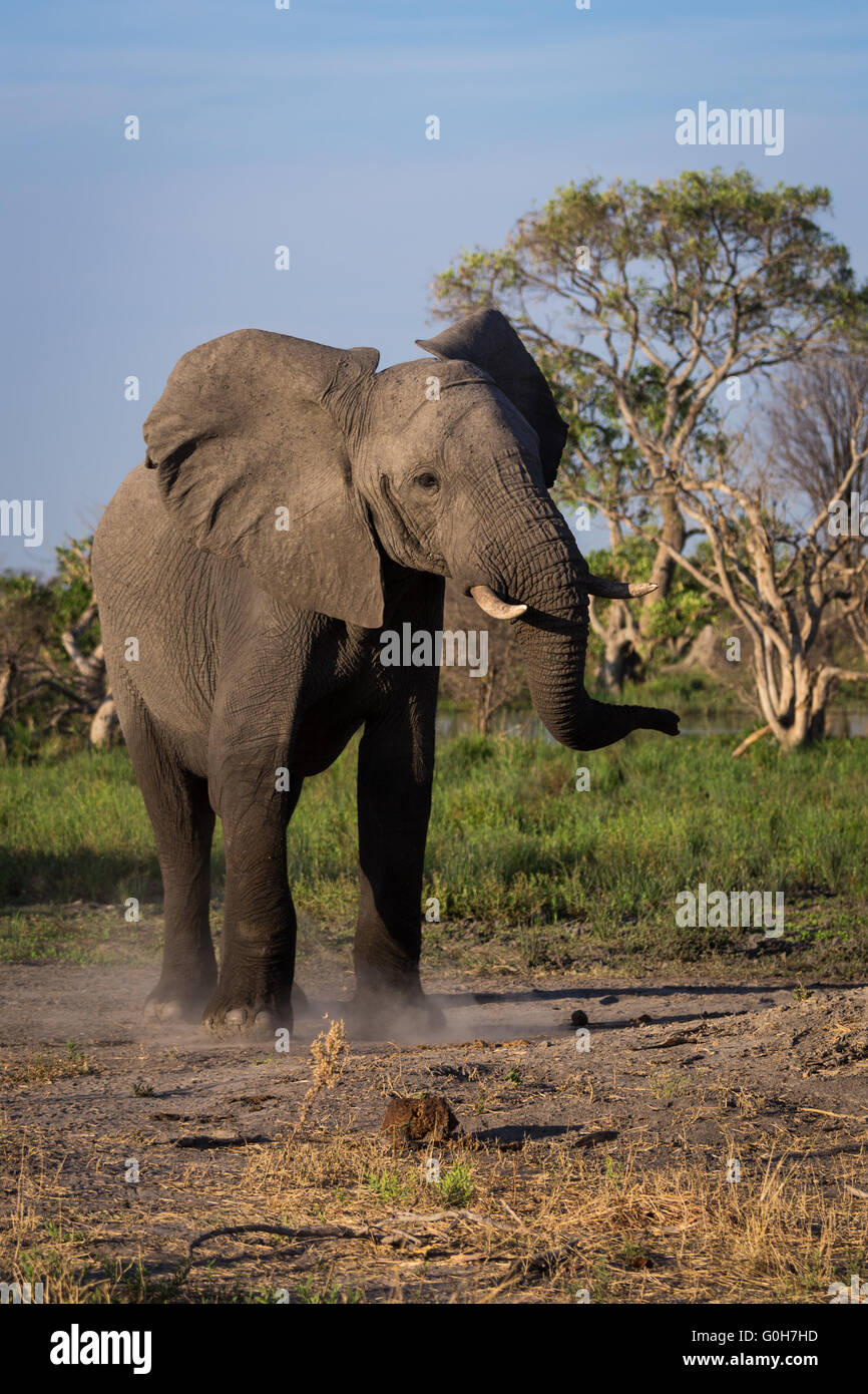 Angry elephant wirling its head and kicking up dust, at the Okavango Delta of Botswana, Africa. - Stock Image