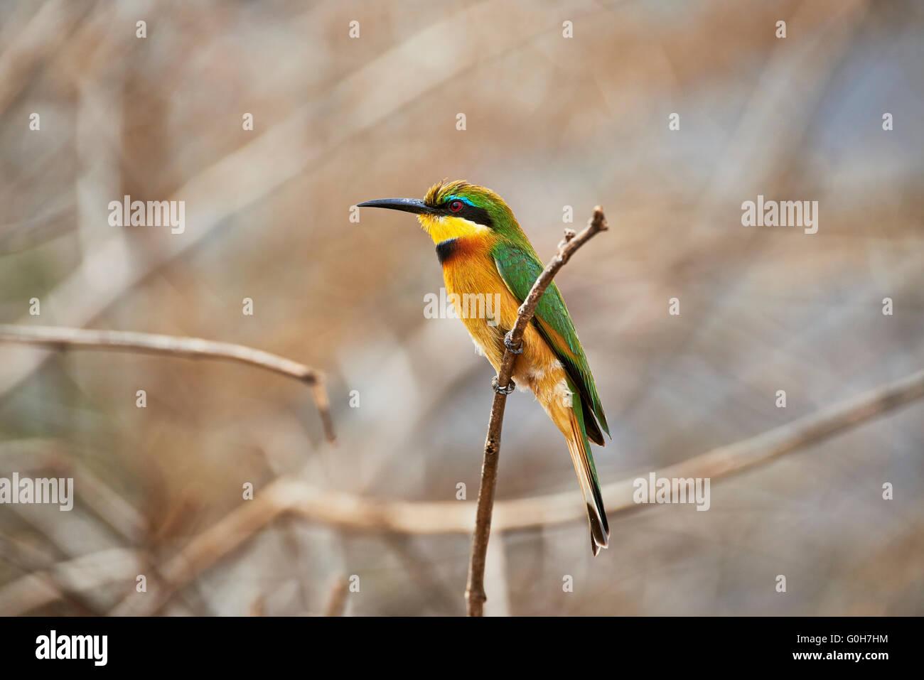 little bee-eater (Merops pusillus), Lake Manyara National Park, Tanzania, Africa - Stock Image