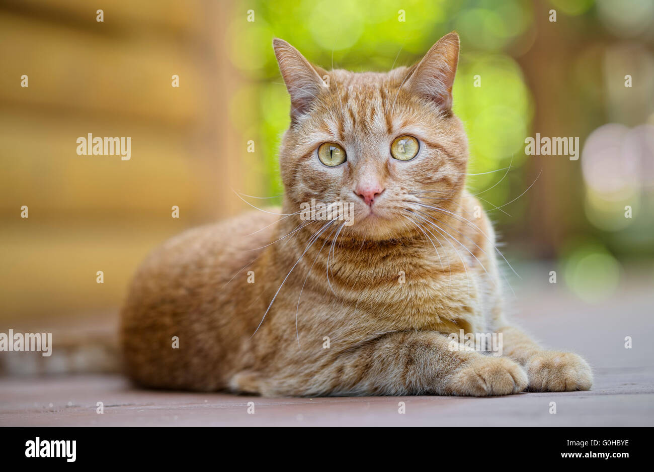 Male orange tabby cat lying down outdoors paying attention to surroundings - Stock Image