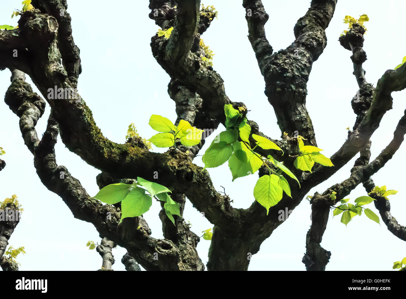Linden-tree leaves (Tilia platyphyllos) in early spring Stock Photo