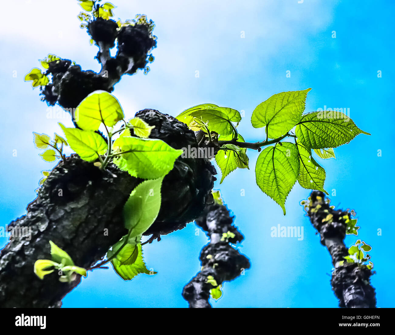 Linden-tree leaves (Tilia platyphyllos) in early spring - Stock Image