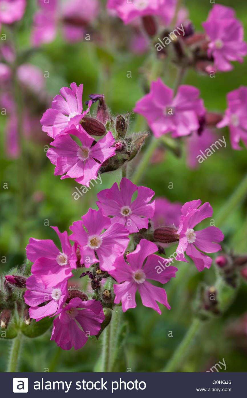 Silene dioica 'Rolly's Favourite' - Stock Image