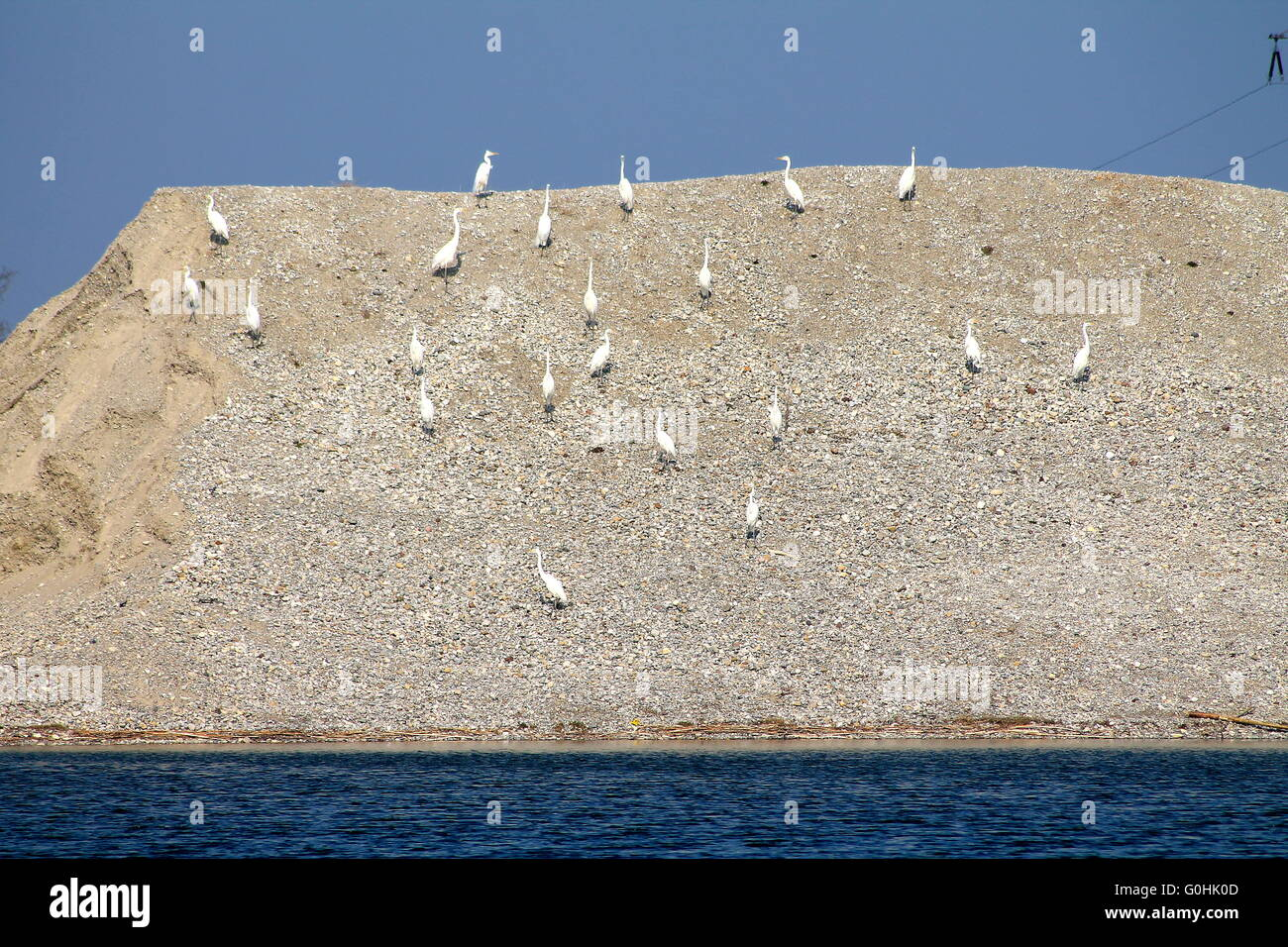 Egret colony at Lake Stock Photo
