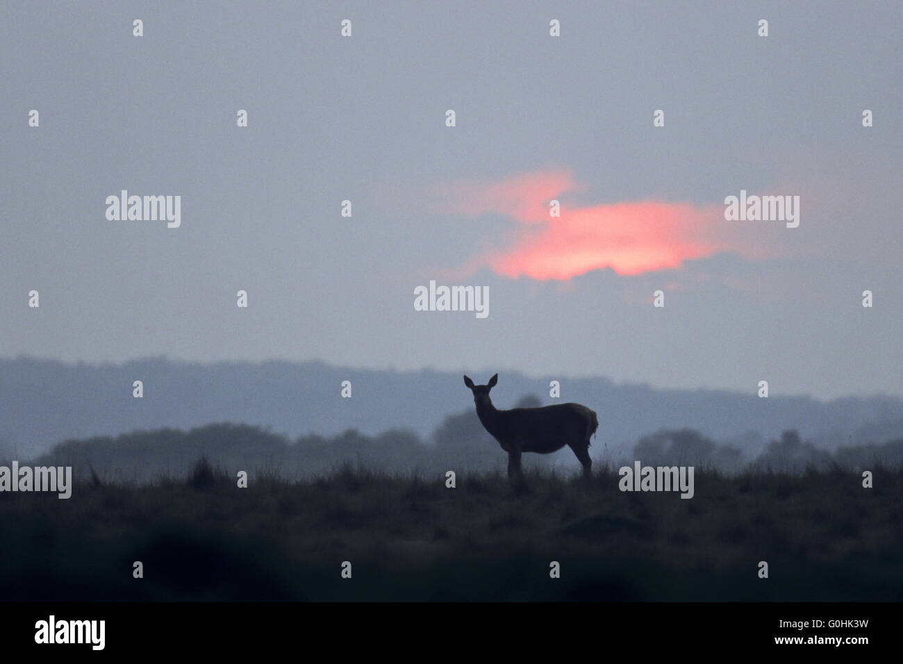Red Deer hind in last sunlight Stock Photo