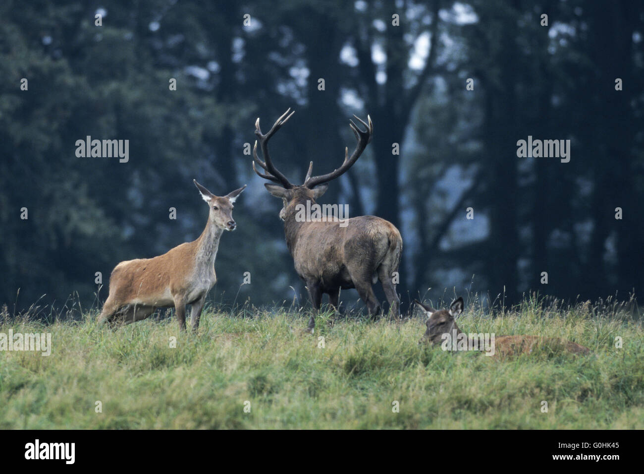 Red Deer, only mature stags hold groups of hinds and calves in the rut Stock Photo