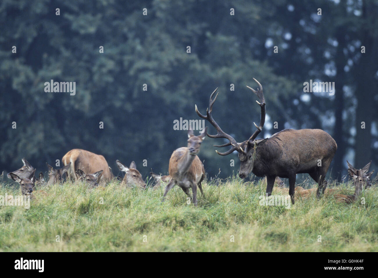 Red Deer stag tests receptiveness Stock Photo