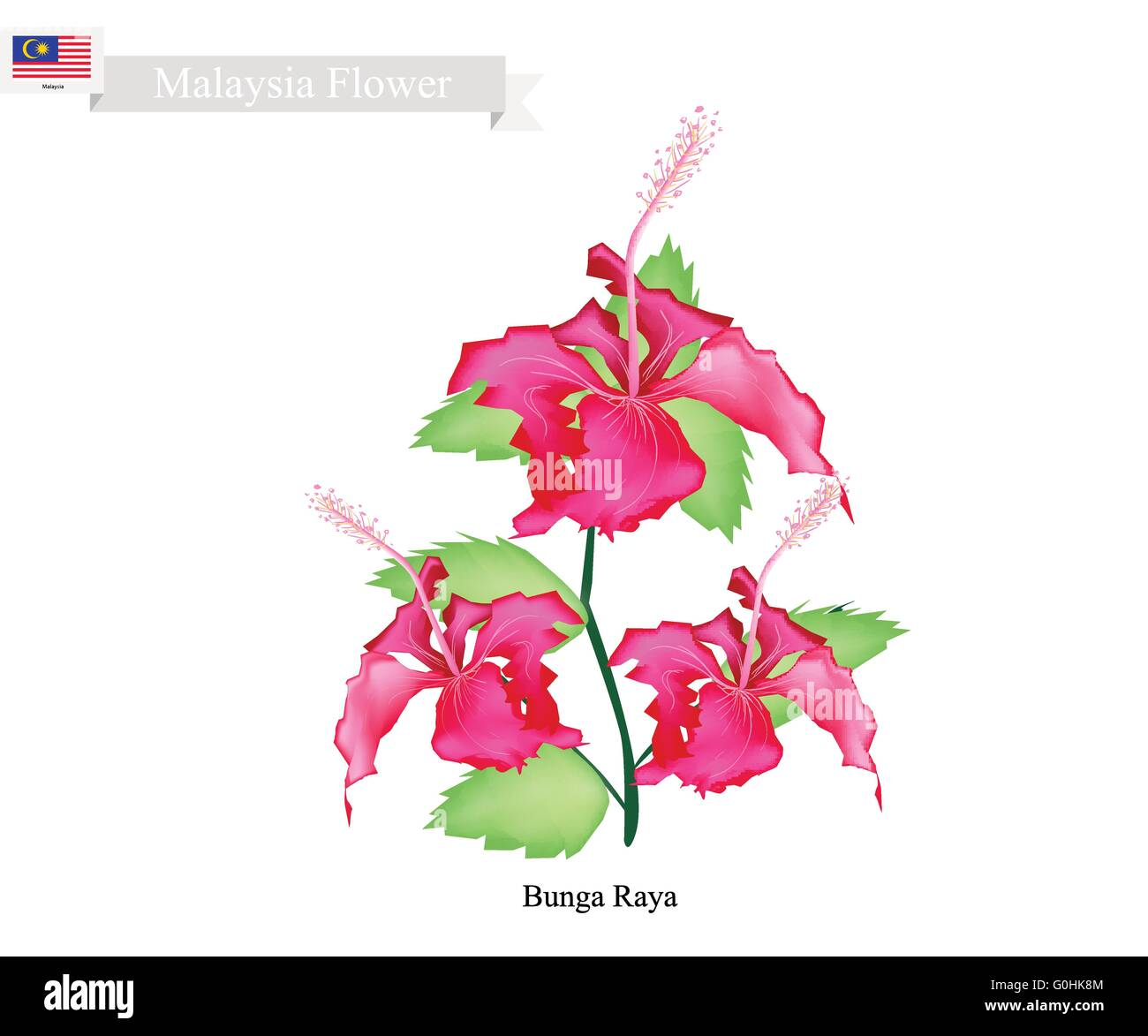 Malaysia flower illustration of bunga raya or hibiscus flowers the malaysia flower illustration of bunga raya or hibiscus flowers the national flower of malaysia izmirmasajfo