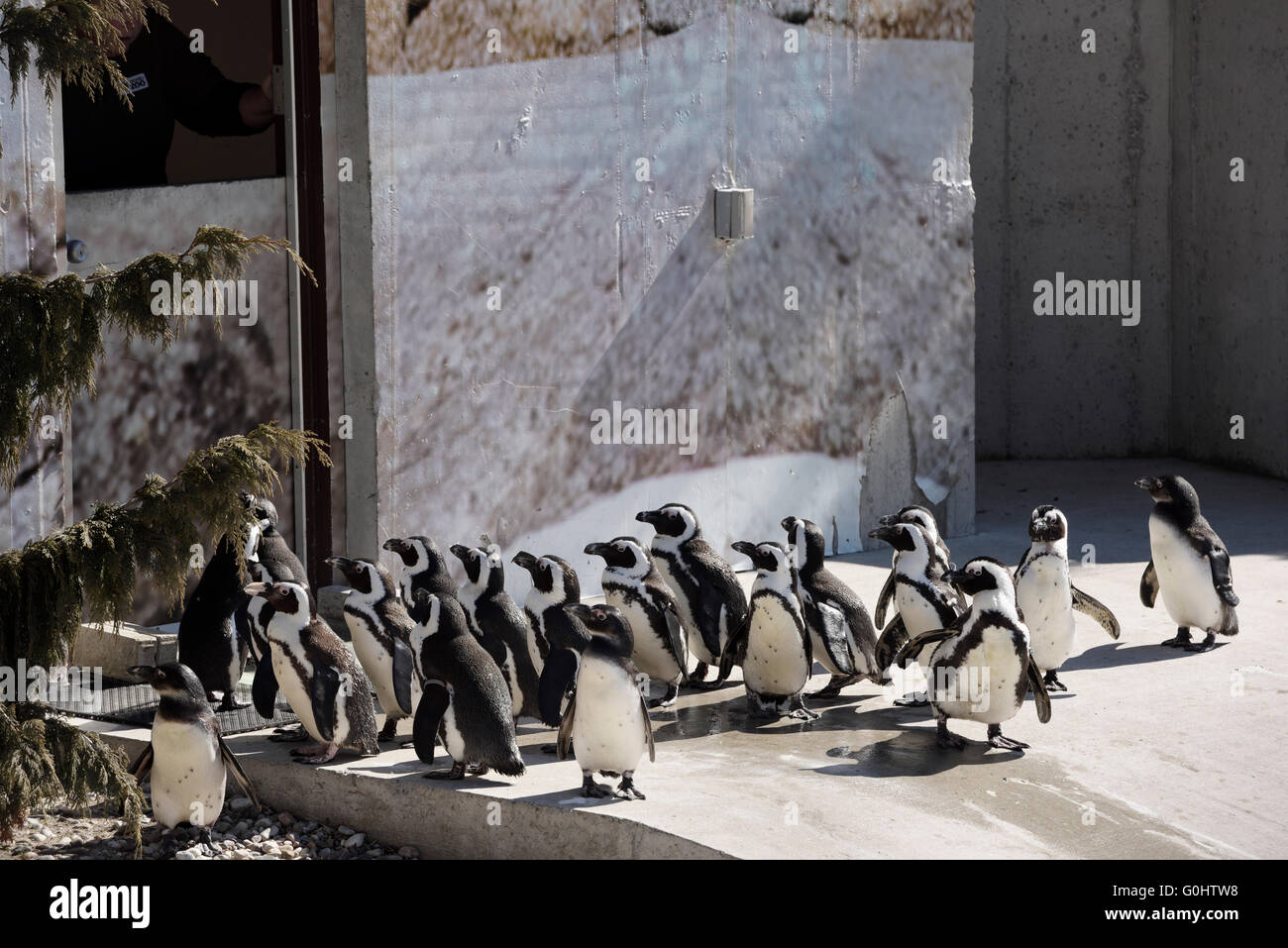 Colony of captive African Penguins lined up at feeding time - Stock Image