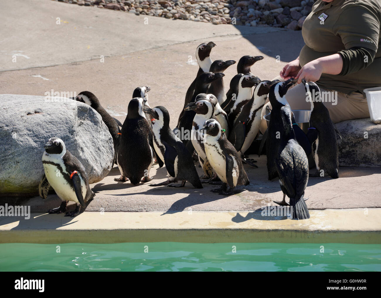 Zookeeper hand feeding African Penguins beside the pool - Stock Image