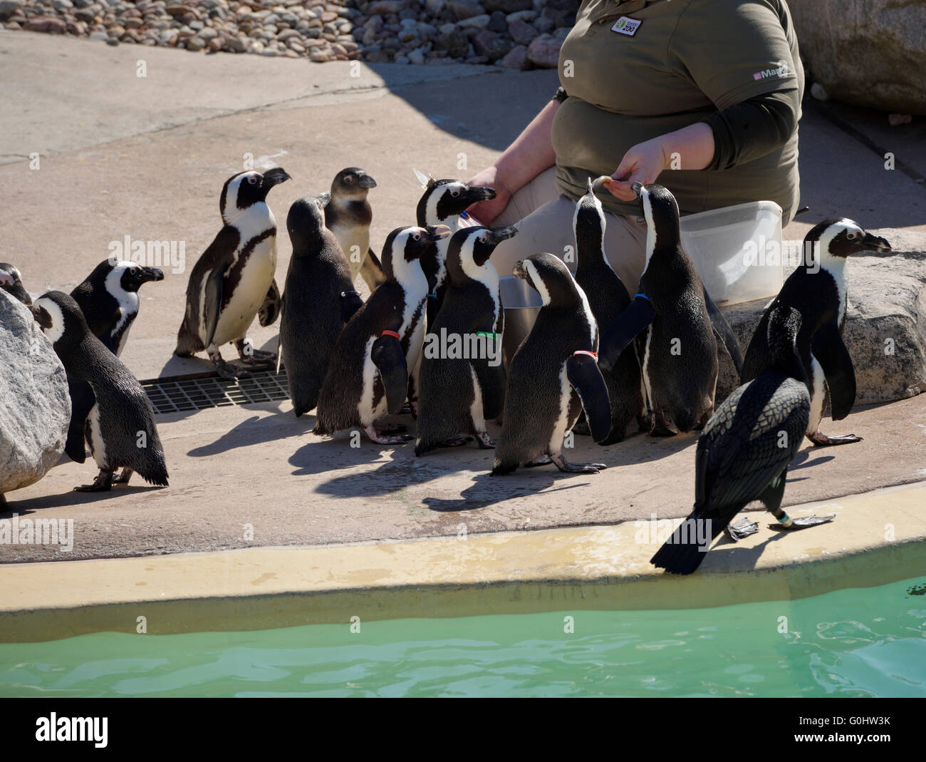 Zoo keeper feeding African Penguins poolside - Stock Image