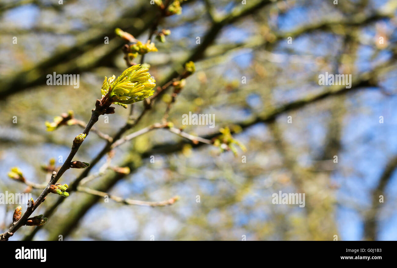 Branch with buds and first spring gentle leaves, blue sunny sky background - Stock Image