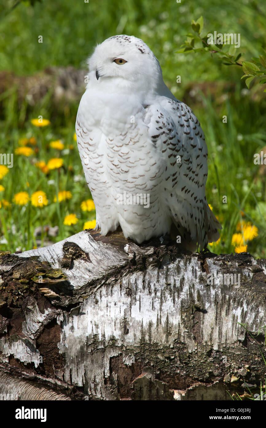 Snowy owl (Bubo scandiacus) at Dresden Zoo, Saxony, Germany. - Stock Image