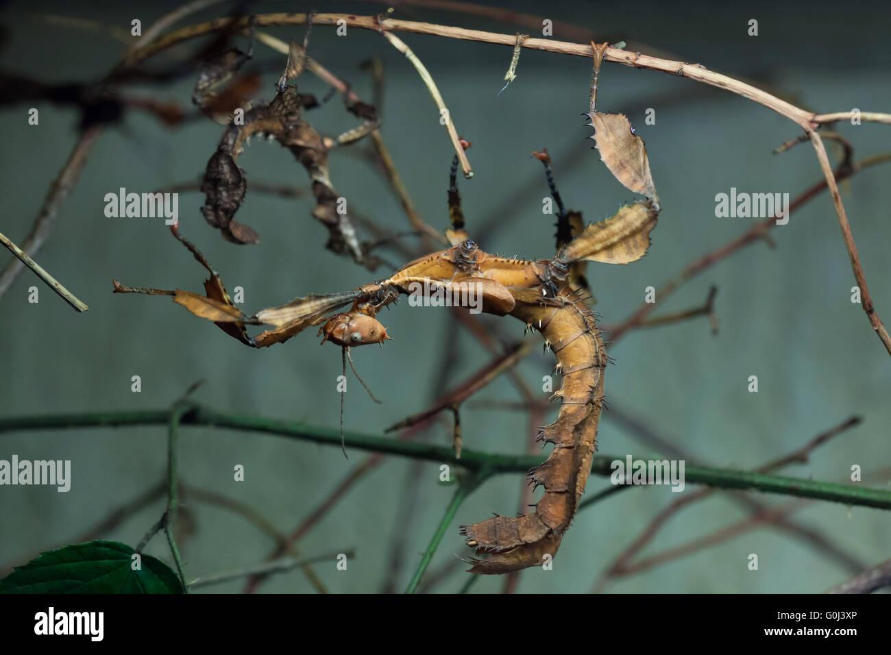 Australia caterpillar found giant xxx believe