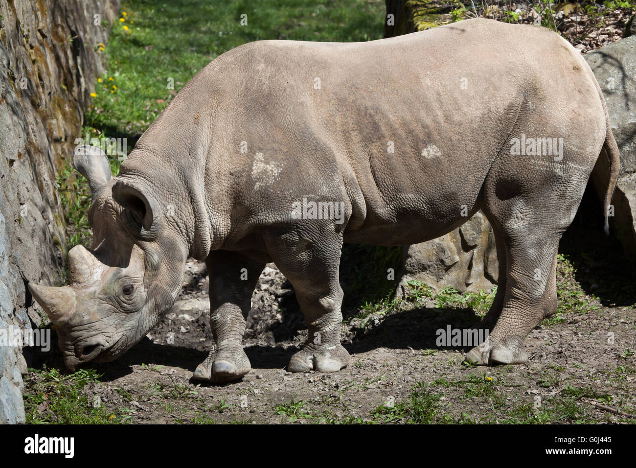 Black rhinoceros (Diceros bicornis) at Dvur Kralove Zoo, Czech Republic. - Stock Image