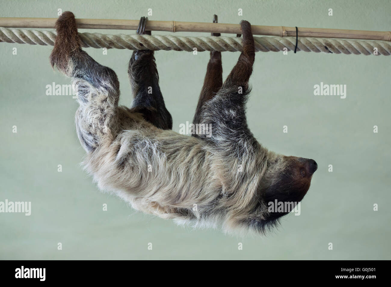Linnaeus's two-toed sloth (Choloepus didactylus), also known as the southern two-toed sloth at Dresden Zoo, Saxony, Germany. Stock Photo