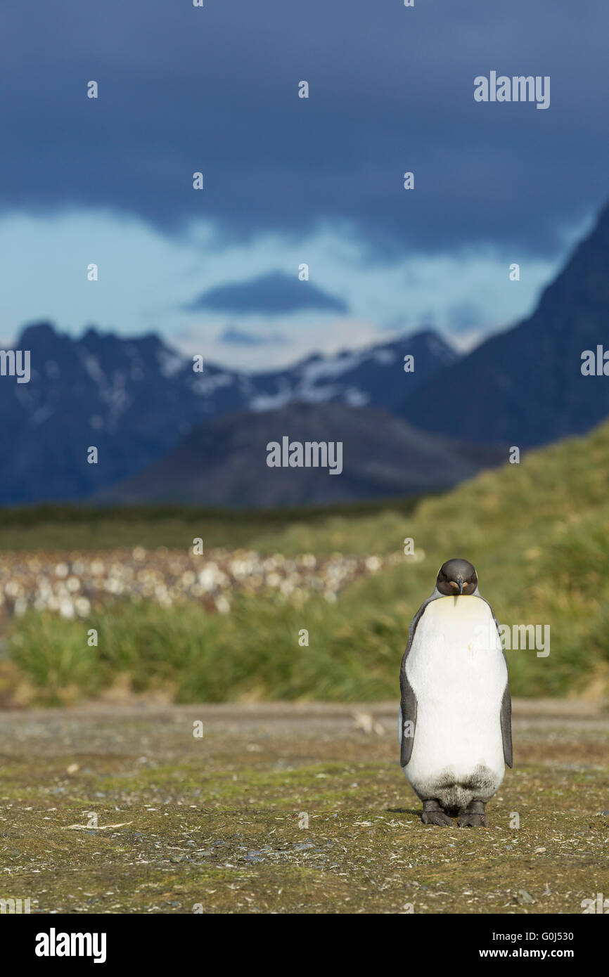 KIng penguin Aptenodytes patagonicus, adult, standing in front of breeding colony, Salisbury Plain, South Georgia - Stock Image