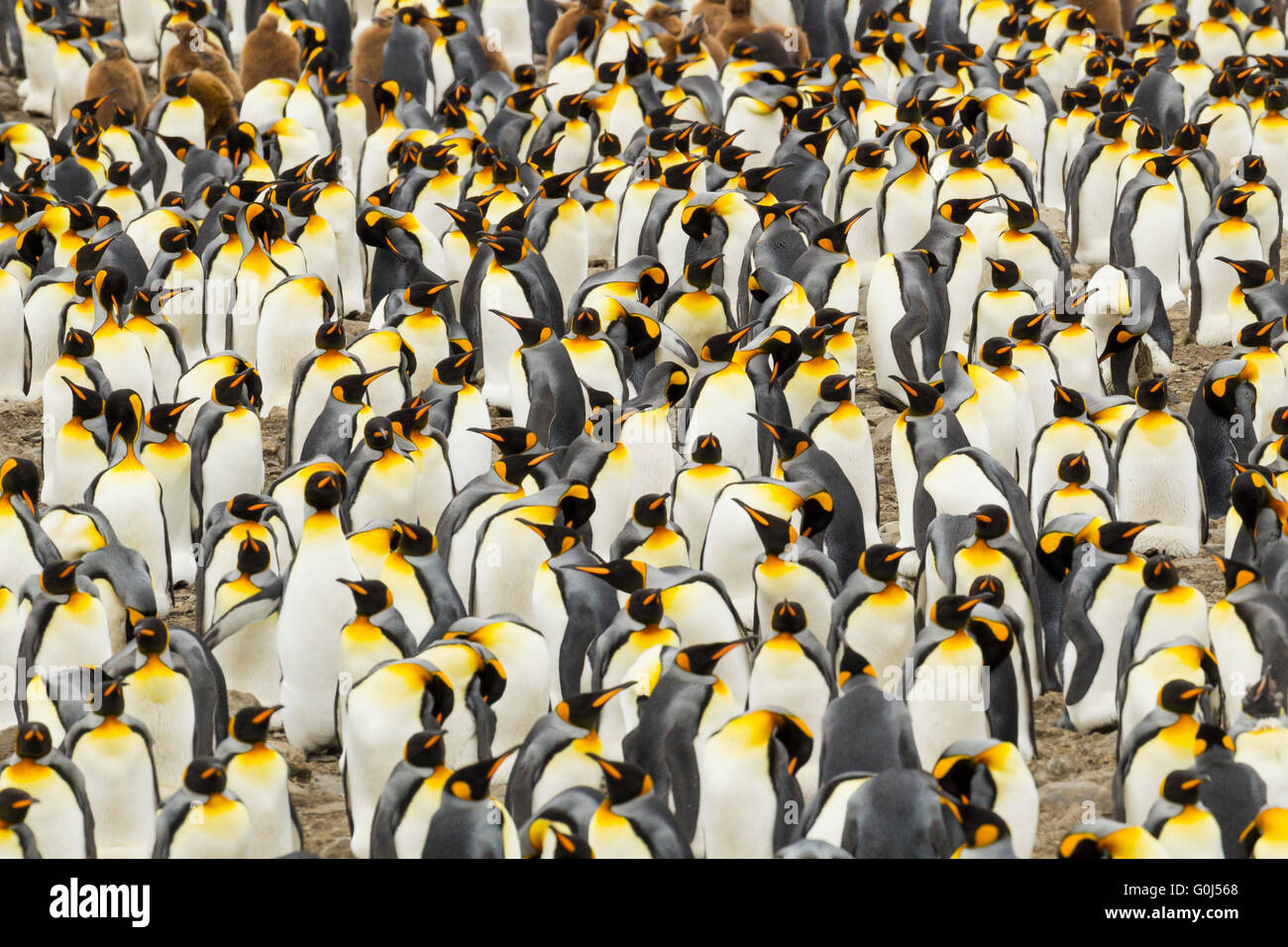 King penguin Aptenodytes patagonicus, tightly packed breeding colony, St. Andrew's Bay, South Georgia in January. - Stock Image