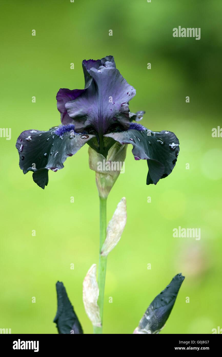 Hohe Bart-Iris, Hello Darkness - Stock Image