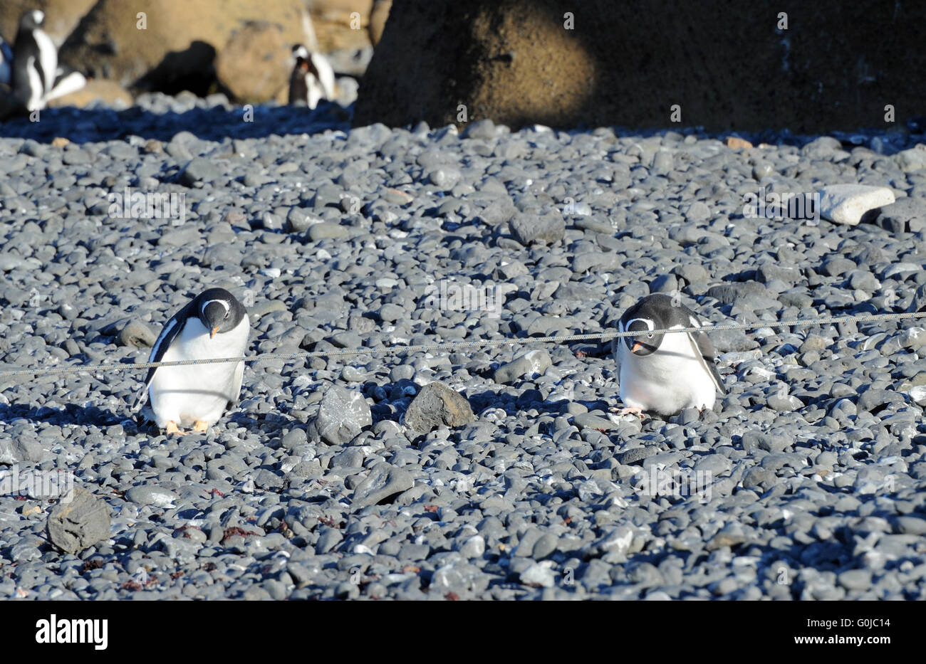 Two young  gentoo penguins (Pygoscelis papua) are clearly puzzled by a mooring rope and can't decide how to - Stock Image
