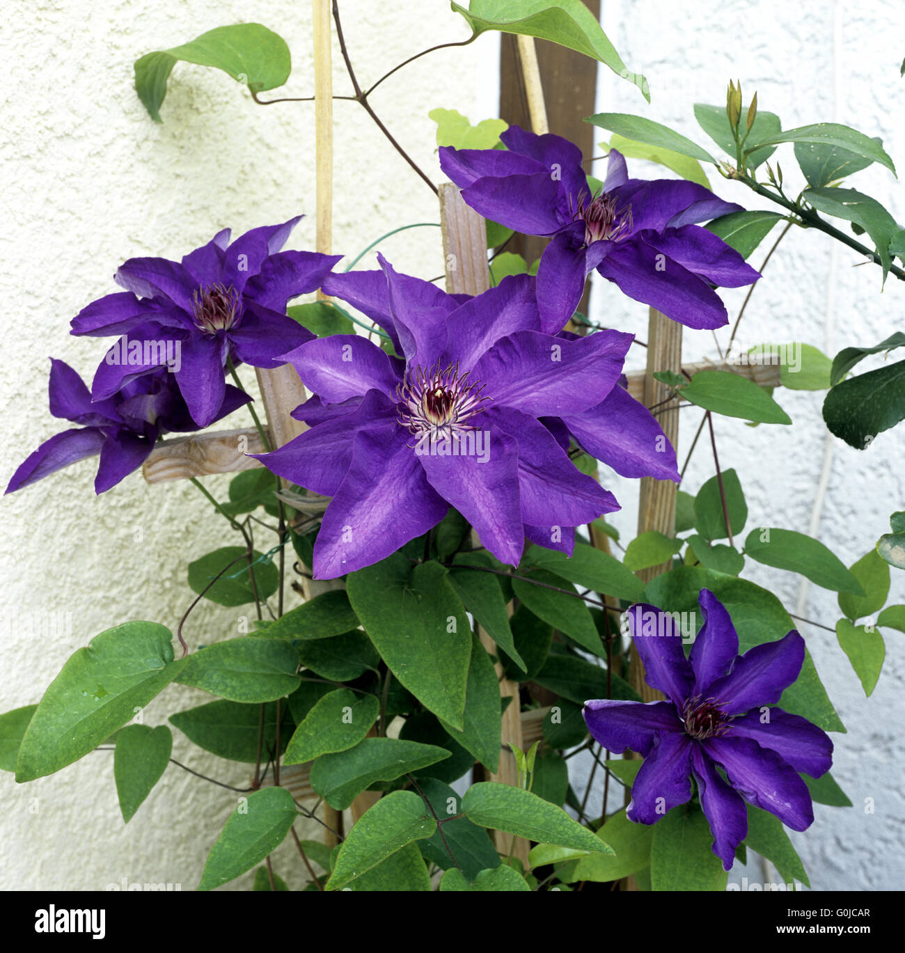 Clematis; The President Stock Photo