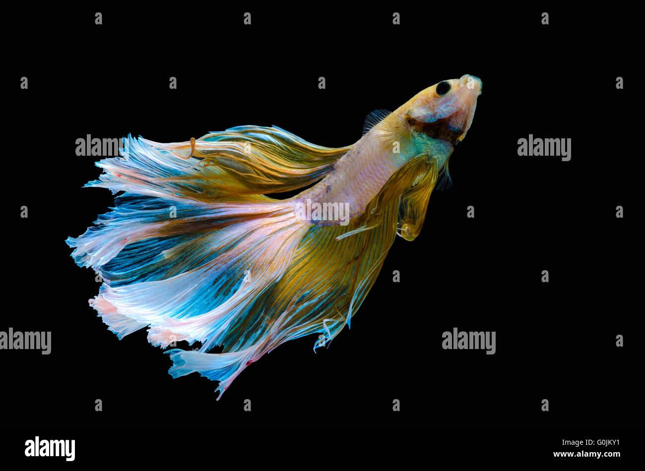 Betta Siamese aquarium fighting fish, black background - Stock Image
