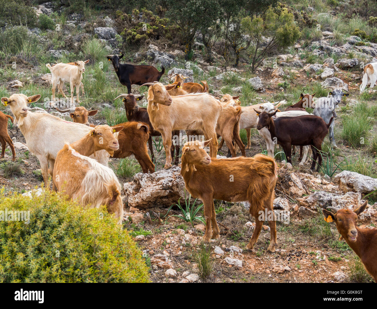 Herding goats. Sierra de las Nieves Natural Park. Málaga Andalusia, Spain Europe Stock Photo