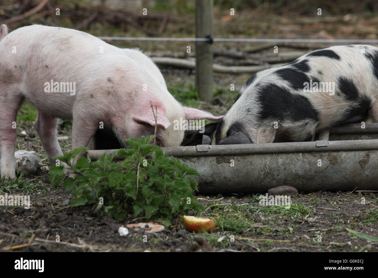 2 weaner pigs large white and spotted one eating out of a tough,outdoor pigs - Stock Image