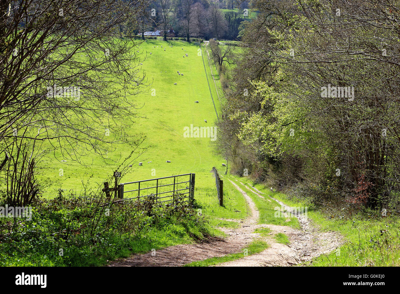 english country footpath in the Chiltern Hills with grazing sheep - Stock Image
