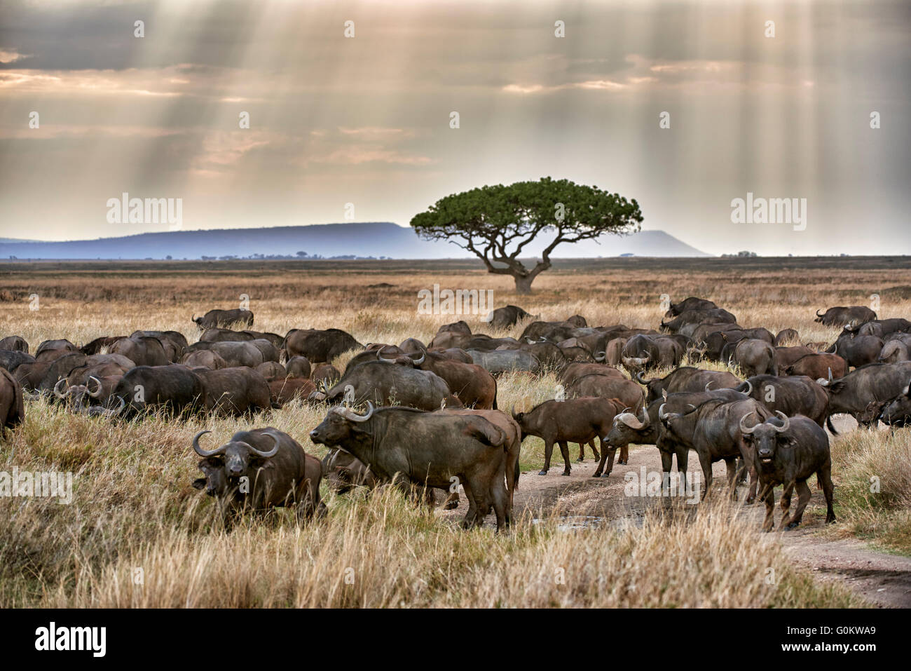herd of African buffalos (Syncerus caffer) at sunset in Serengeti National Park, UNESCO world heritage site, Tanzania - Stock Image