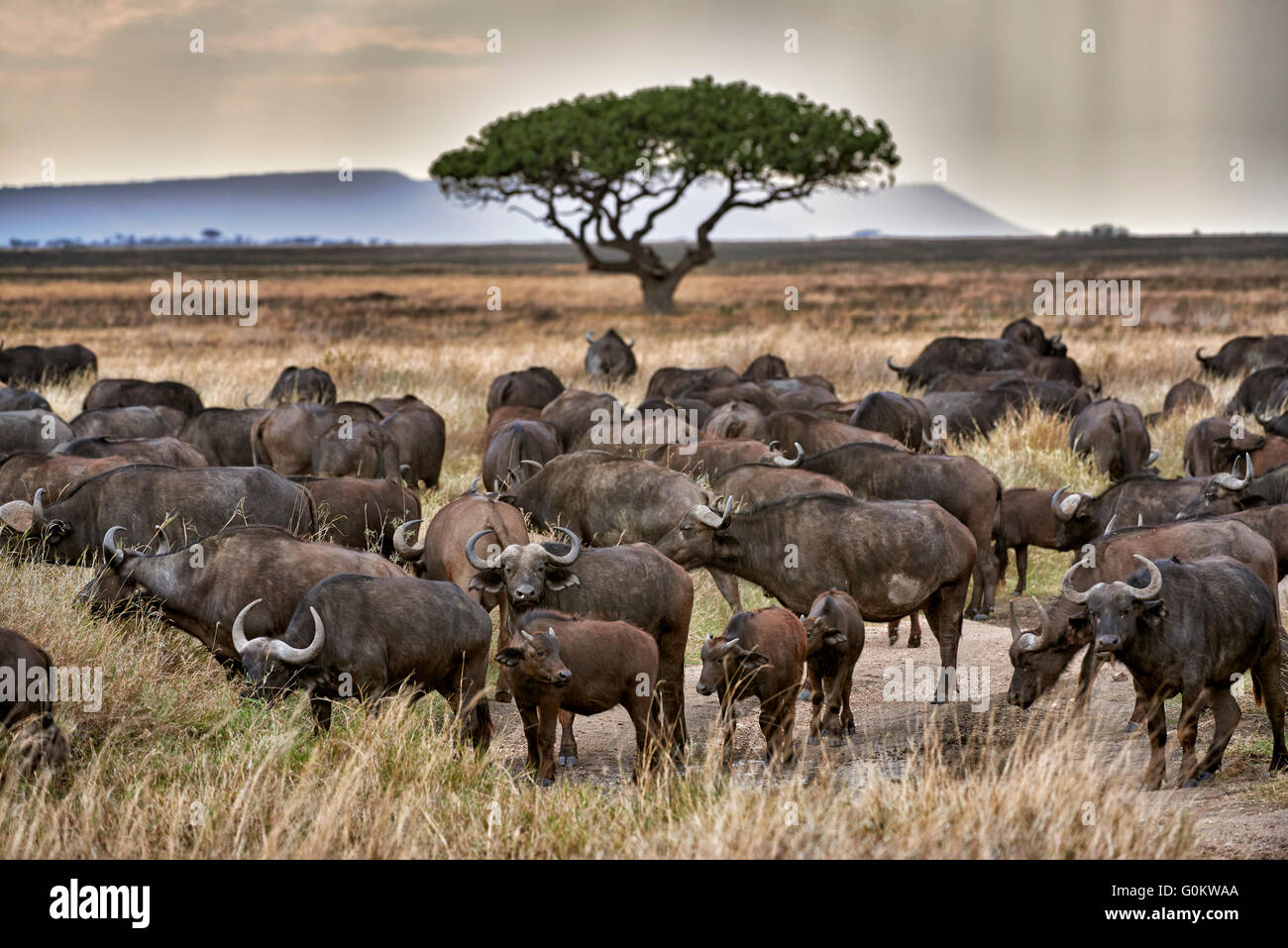 herd of African buffalos (Syncerus caffer) at sunset in Serengeti National Park, UNESCO world heritage site, Tanzania Stock Photo