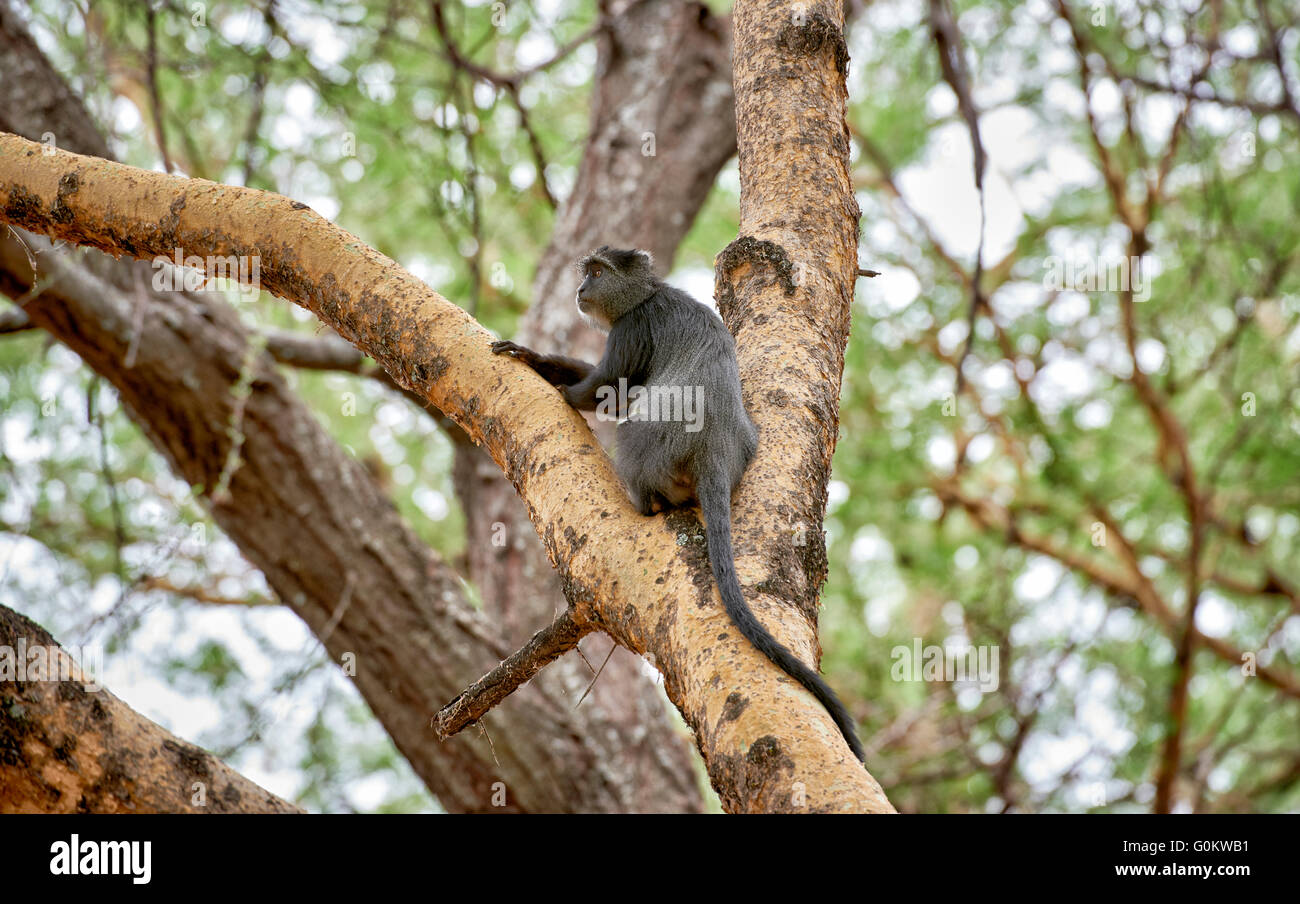 Blue monkey (Cercopithecus mitis), Lake Manyara National Park, Tanzania, Africa - Stock Image