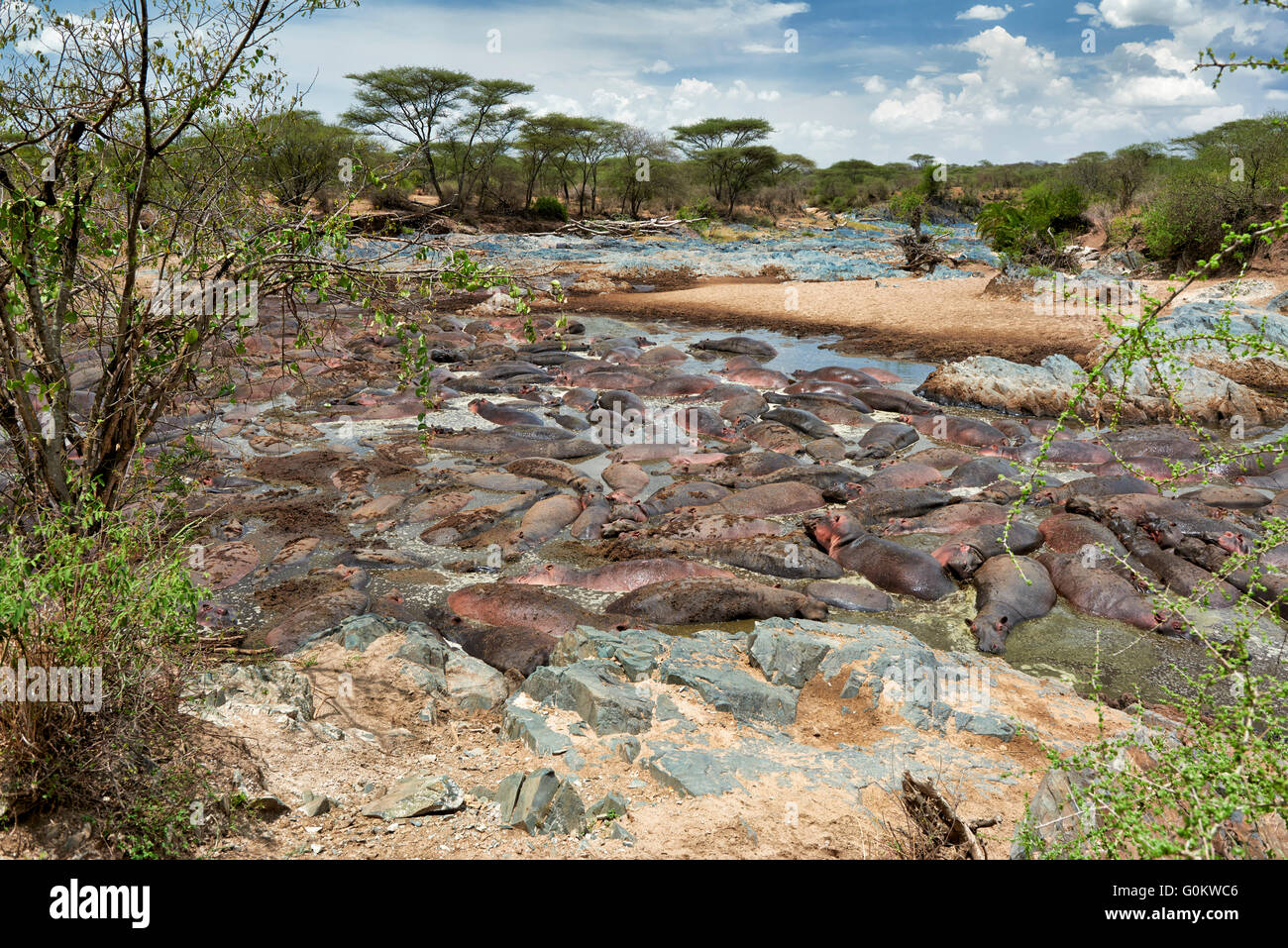 huge amount of Hippos (Hippopotamus amphibius) in famous Hippo-Pool of  Serengeti National Park,Tanzania,Afrika - Stock Image