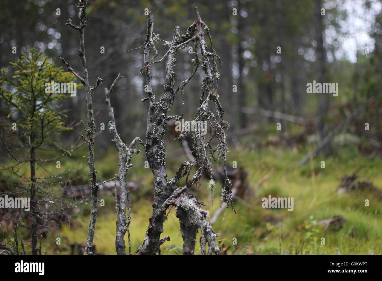 Dead plants in a Swedish bog in Värmland. - Stock Image