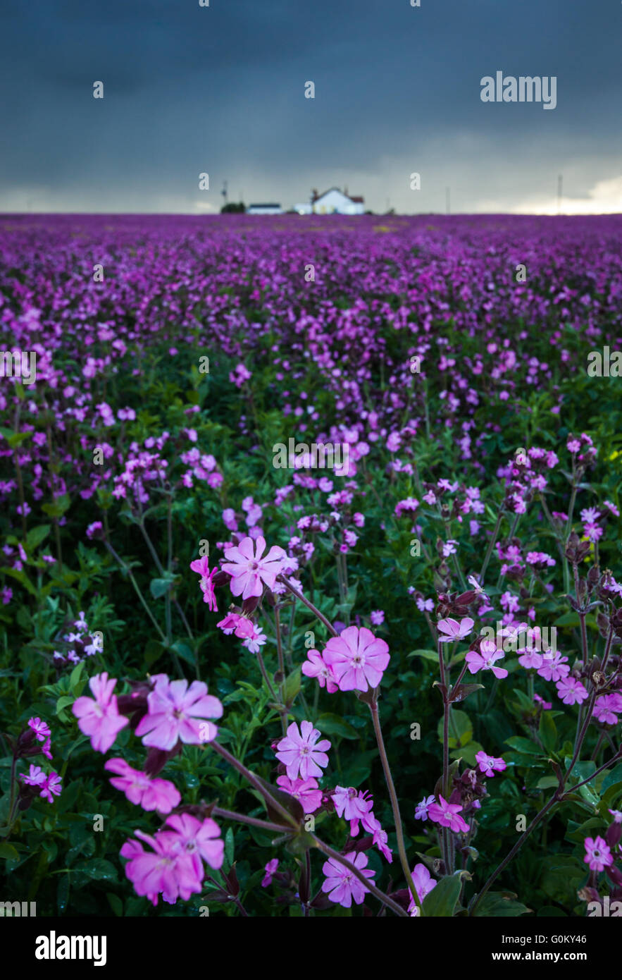 Field full of Red Campion with a house on the horizon and in coming storm looming in the distance at Bamburgh in Stock Photo