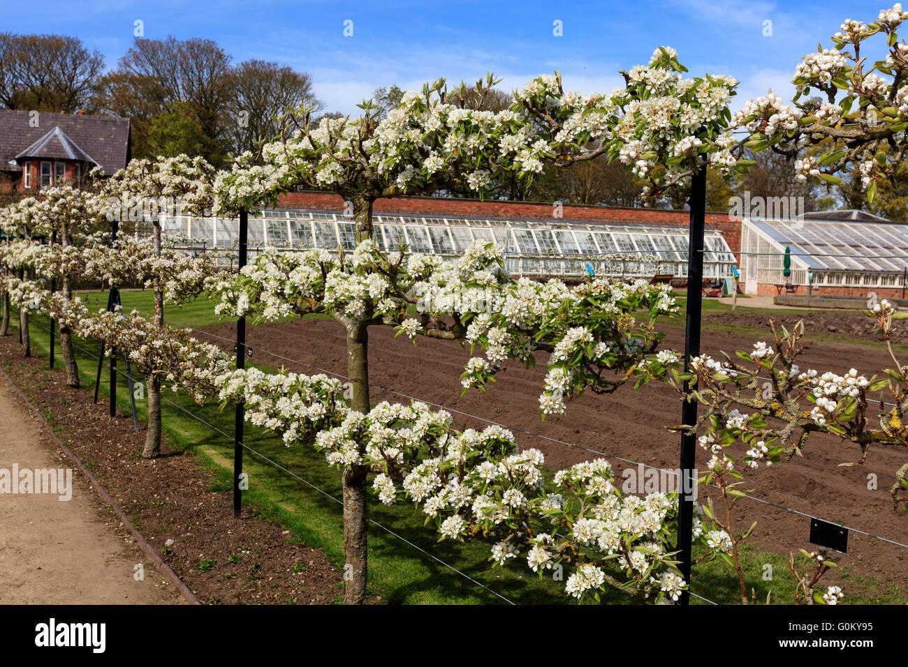 Espaliered blossoming fruit trees in a garden during springtime. - Stock Image
