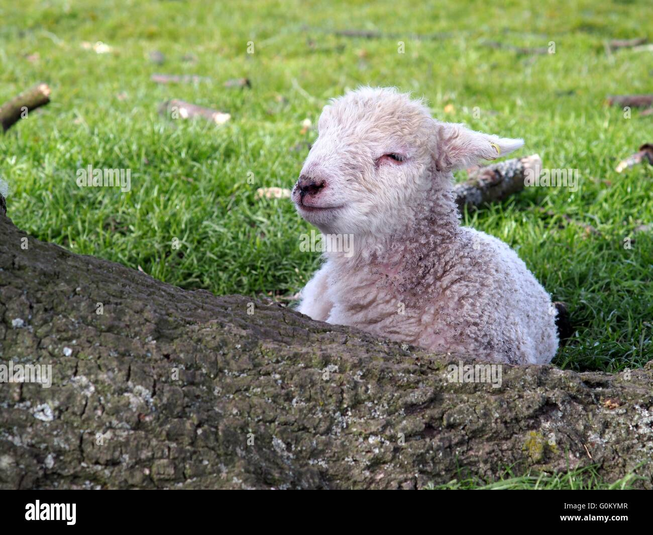 Cute Spring baby lamb sleeping in the shade of a tree Stock Photo ... for baby lamb in spring  284dqh