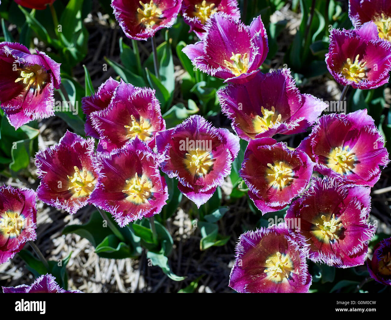 Tulips in the Netherlands near Noordwijk - Stock Image