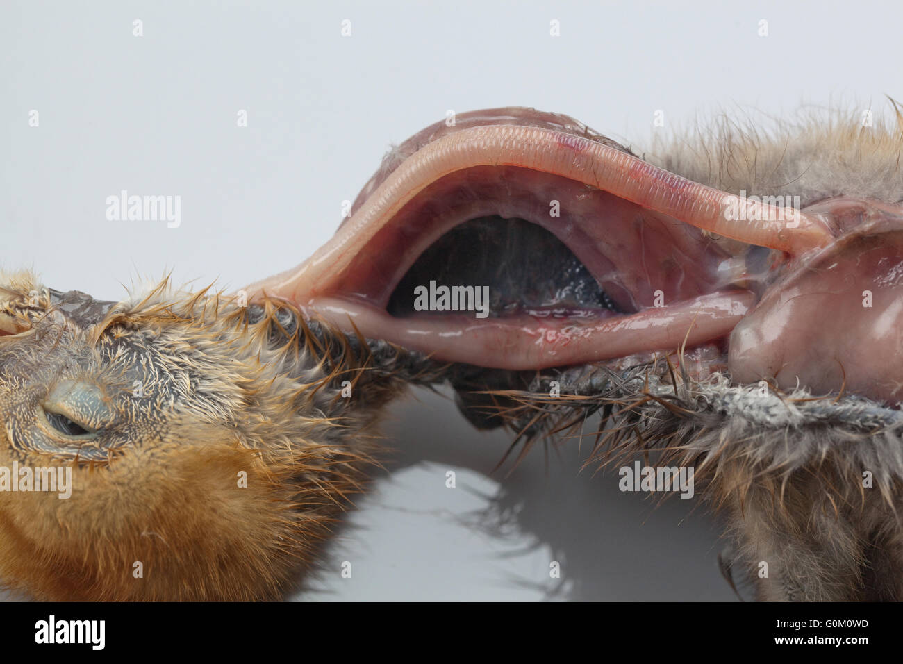 Blue Crane Anthropoides paradisea Post Mortem of nine days old chick. Neck, opened to reveal trachea, oesophagus, - Stock Image