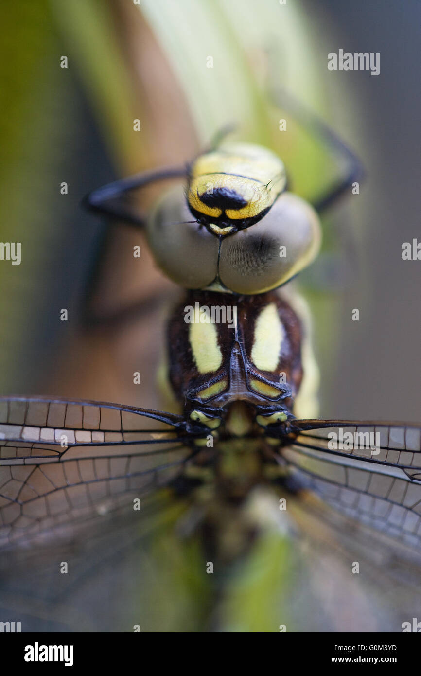 Southern Hawker Dragonfly (Aeshna cyanea).  Close-up of head including compound eyes, thorax and base of wings. - Stock Image