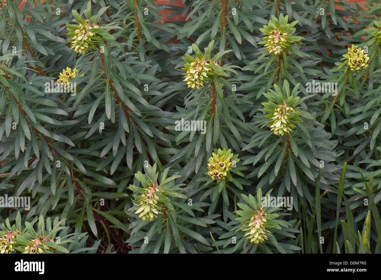Euphorbia characias 'Black Pearl' unfolding as it comes into flower, Berkshire, march - Stock Image